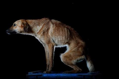 Abandoning emaciated dogs in Venezuela