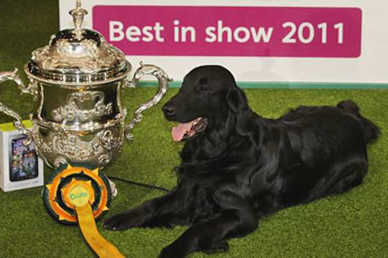 Pets   Are Dog Shows for You?