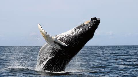 Australia Disappointed by Japan's Continued Whale Hunts