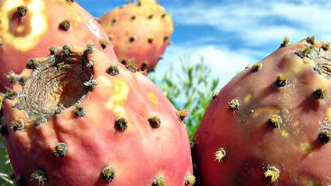 Cactus Juice Bristling with Health Potential
