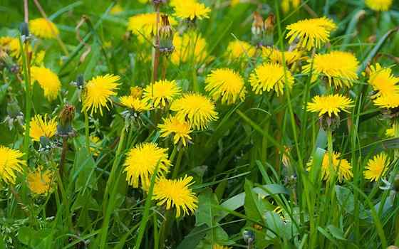 Dandelions: Nature's Mild Diuretic