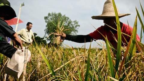 Debate Over Genetically Engineered 'Golden Rice' Heats Up