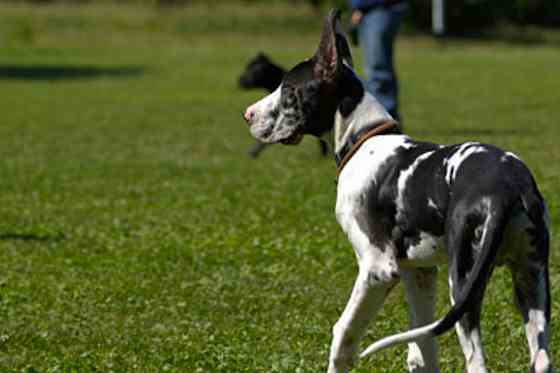 Pets | Dogs: Is a Great Dane the Dog Breed for You?