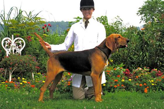 Pets | Dogs: Meet the Penn-MaryDel Foxhound
