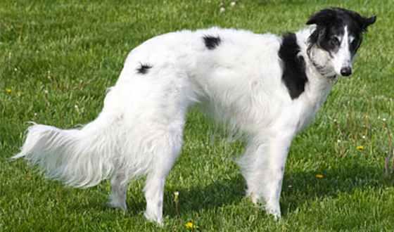 Pets   Dogs: The Silken Windhound: A Low-maintenance Beauty
