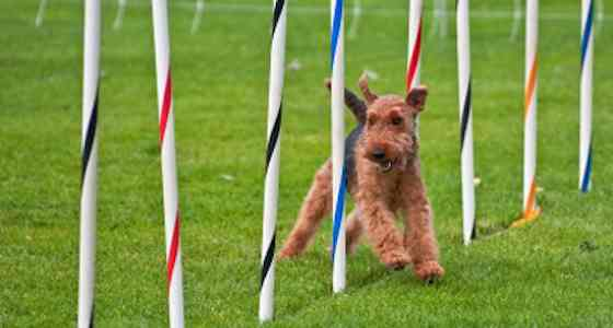 Pets | Dogs: Is Your Dog Ready for Agility?