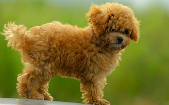 Is a Toy Dog Breed Your Best Match?