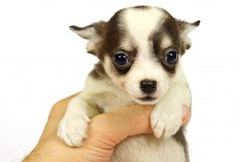 The Chihuahua: Man's Best Amigo?