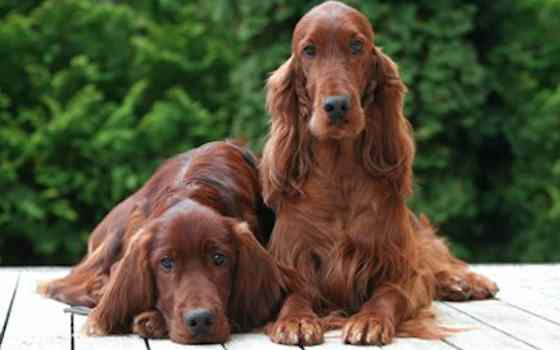 Pets | Dogs: The Irish Setter: Fun Wears a Red Coat