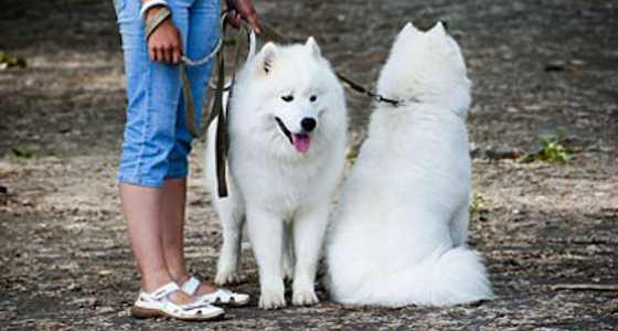 The Samoyed: More Than Just Fluff