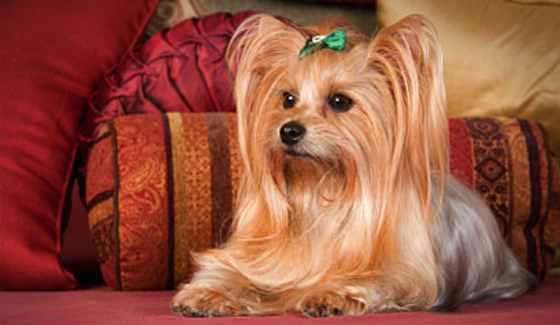 What's Not to Love About Yorkies?