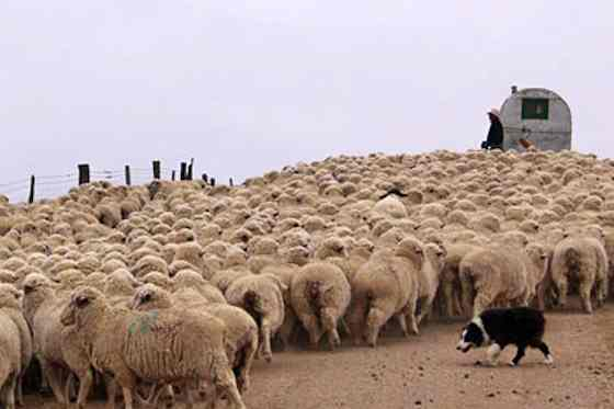 Pets | Dogs: A Day in the Life of a Sheepherding Dog