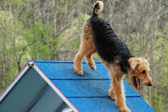 Pets | Dogs: Airedale Terrier: The Dog Breed for Smart People