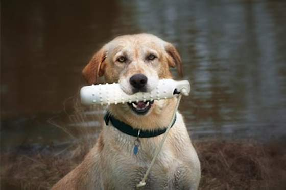 Pets | Dogs: Is Your Dog Cut out for Field Trials?
