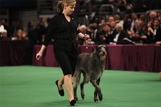 Pets | Dogs: Scottish Deerhound: The Ideal Exercise Buddy