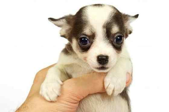 Pets | Dogs: The Chihuahua: Man's Best Amigo?