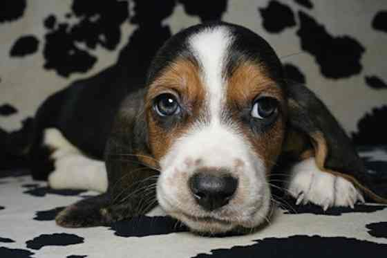 Pets | Dogs: Why Dog's Eyes are Sometimes Runny and Watery