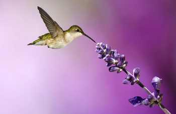 A hummingbird feeding on nectar from salvia flowers. Salvia is one of several late-blooming plants that attract hummingbirds on their annual migration southward in late summer and early fall