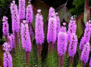 The purple flowers of Liatris attract butterflies and other winged insects