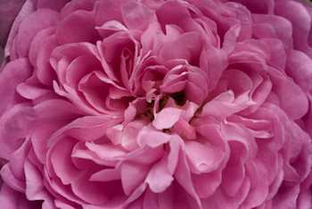 Great Maiden's Blush, and exceptionally fragrant heirloom rose cultivated for hundreds of years.
