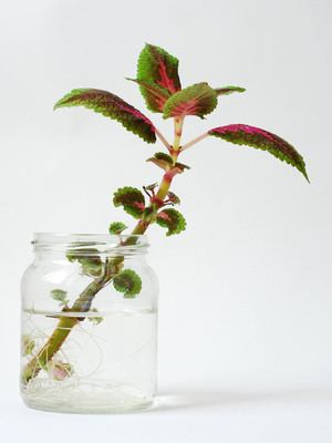 Gardening - Green Thumb 101: Propagating Plants with Clippings