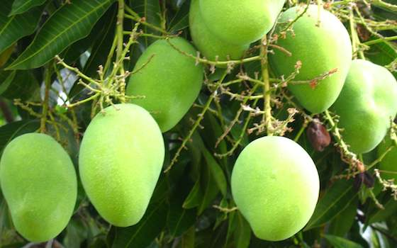 Mangos, Not Mining, the Future of Guinea