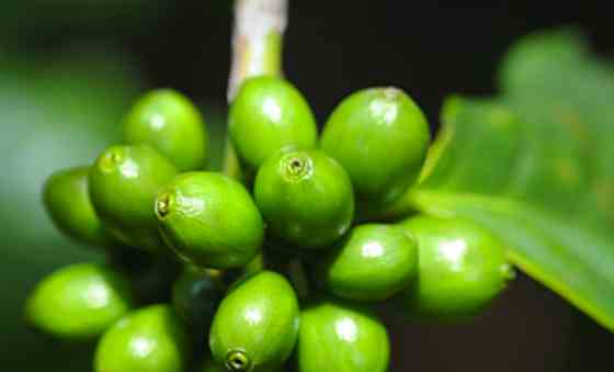 Green Coffee Bean Supplement: A Wonder Diet Drug?