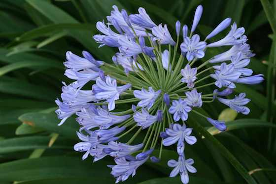 Agapanthus: A Beautiful Option for Busy Gardeners