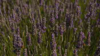 Lavender's pretty flowers and graceful, bushy shape make it a favorite plant for gardeners. Though native to Mediterranean climes, it can thrive in colder areas if planted in well-drained soil.