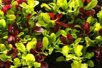 Gardening - Grow Salads All Through Winter with Microgreens. Among the many virtues of microgreens is the ease with which they can be grown on a countertop or windowsill