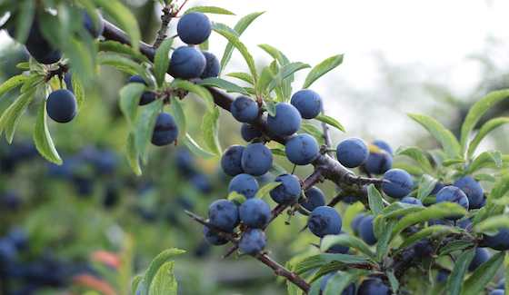 Blueberries From Your Own Backyard