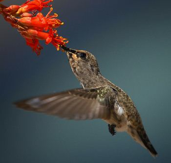 Gardening - How to Attract Hummingbirds. Hummingbird feeding on a flower