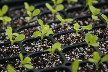 Starting seed inside your home is easier than you think, and it vastly expands your options for garden plants