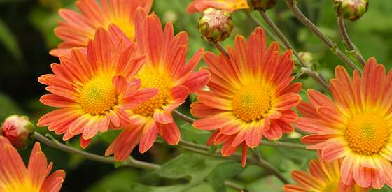 A great fall-blooming plant is the chrysanthemum 'Rhumba,' with its abundant crop of coppery-coral flowers with bright yellow centers