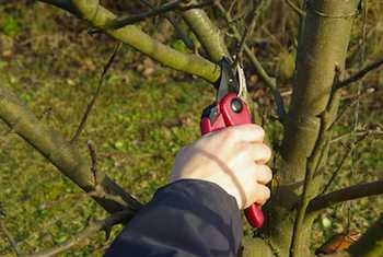 The dormant period at the end of winter is the best time to prune most shrubs and trees
