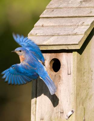 Many migratory birds, including the Eastern bluebird pictured here, look to nest in birdhouses built to their precise specifications