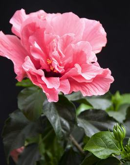 Got the winter blahs? A flashy pink hibiscus can turn any sunny window or sunroom into a tropical paradise