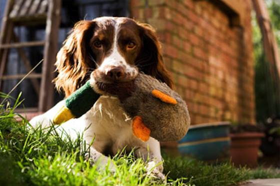 Pets | Dogs: How to Train Your Dog to Hunt