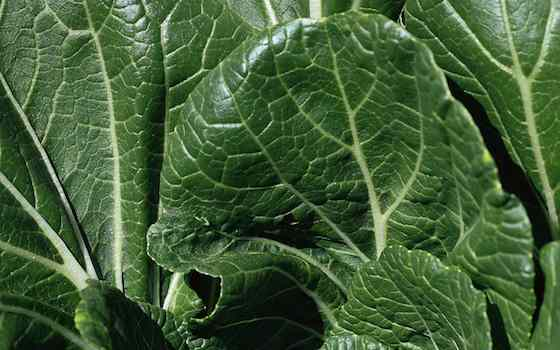 Leafy Green Vegetables Take the Spotlight