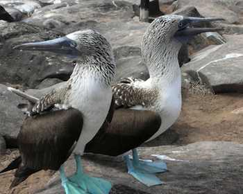Family Vacations - pair of blue-footed boobies