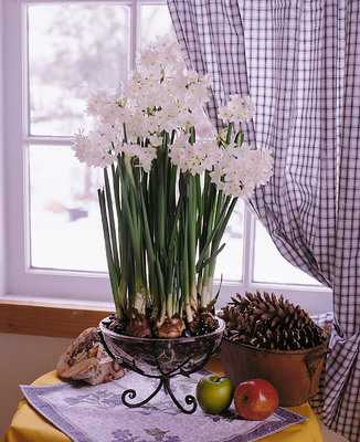 The fragrant blooms of the Paperwhite Narcissus (Narcissus papyraceus), a signature flower of the cold season, are grown indoors from forced bulbs