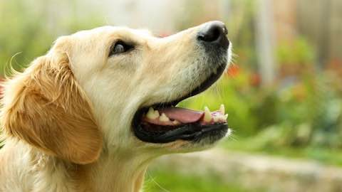 Pets | 25 Loudest Dog Breeds