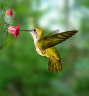 Gardening for the Hummingbirds - How to Attract Hummingbirds into Your Yard